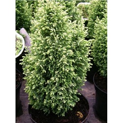Кипарисовик Chamaecyparis lawsoniana Snow White